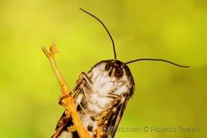 Macro/Parece uma coruja mas é uma borboleta.