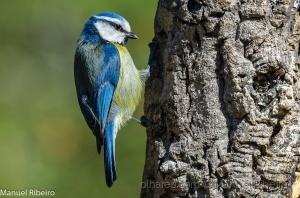 Animais/Chapim azul