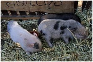 /Porcos do Vietname