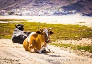 /Vacas na Praia de São Pedro
