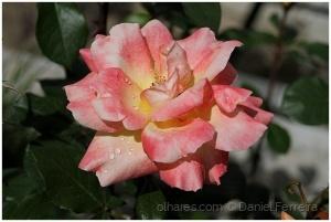 /Uma rosa do meu roseiral