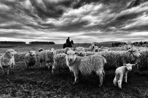 Fotojornalismo/Ovelhas