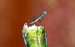 /Tenodera sinensis Nymph - Mantis