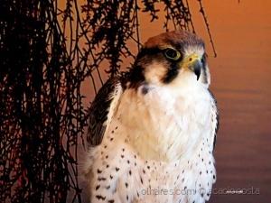 /Falcão-peregrino (Falco peregrinus)