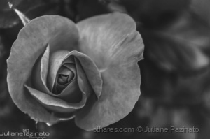 /The Black and White Rose