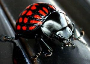 /Escaravelho PRETO e VERMELHO