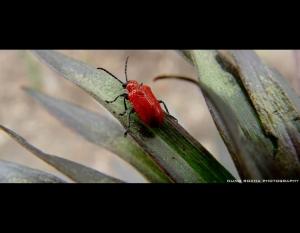 /Escaravelho...