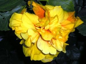 /Hibisco amarelo