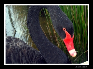 /BLACK SWAN