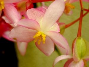 Macro/Flor de Begónia