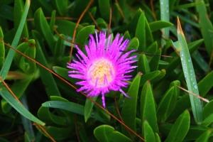 /Flor Rosa na Praia do Rosa 2
