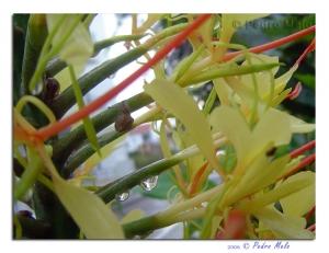 /Flores Amarelas II