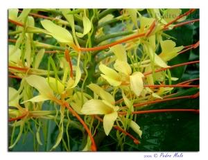 /Flores Amarelas III