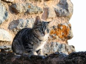 /Gato do Castelo.