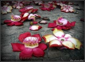 /Flores de Abricó-de-macaco