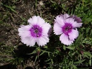 /Cravinas  (Dianthus barbatus)