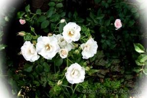 /Rosa branca se diverte Pétalas no vento Imitam a n
