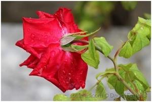 /As costas da rosa