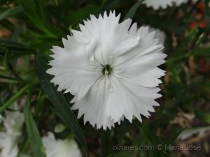 /Cravina  (Dianthus chinensis)