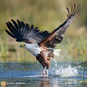 /Águia pesqueira africana