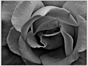 /Uma rosa.