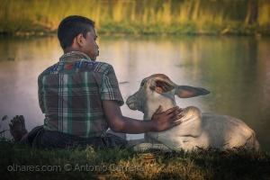 /Um amor de vaca (...)