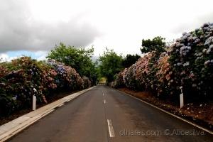 /Estrada Colorida de Hortênsias........