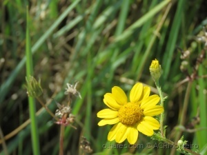 /Flor amarela.