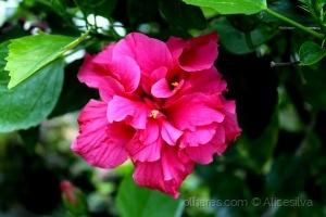 /Hibiscus.........