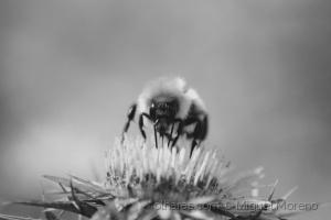 Animais/Bee