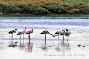 /Flamingos -  Phoenicopterus roseus