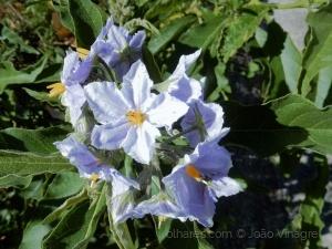 Macro/flores do campo