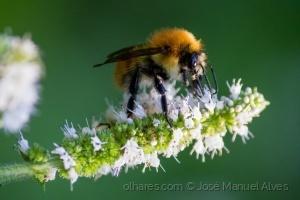 /Diário de uma abelha