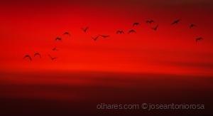 Animais/Ibis preto (Ler)