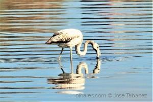 /Flamingo Phoenicopterus roseus