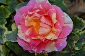 /Camélia rosa