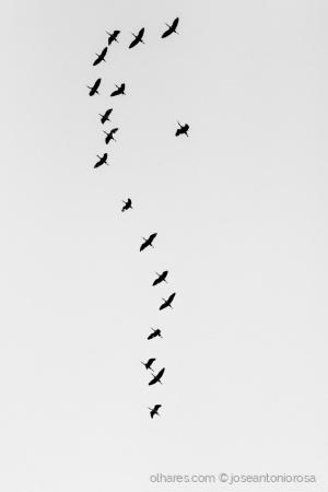 Animais/Ibis preto