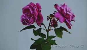 Macro/Há rosas em Novembro