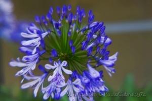 Outros/agapanto azul jardim