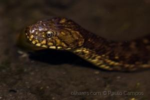 /Cobra-de-água-viperina (Natrix maura)