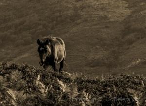 /Garrano: o cavalo selvagem