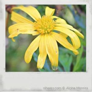 /La fleur qui pleure...