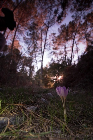 /Crocus sp. ? 4
