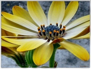 Macro/Yellow daisy