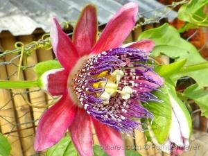 /Flor do maracujá