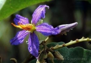 /A flor da Lobeira