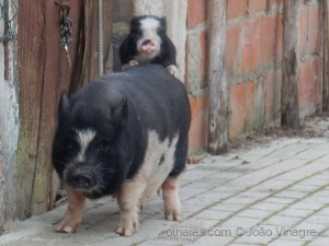 /Pig and Pig