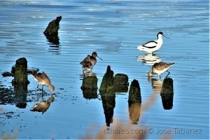 /Alfaiate Recurvirostra avosetta e Maçarico-de-bico