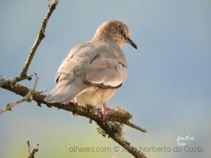 /Aves