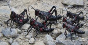 /Gafanhotos são insetos hemimetábolos